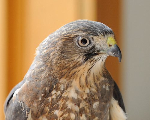 2009-03-28 Barnswallow - A Wild Bird Concern 12