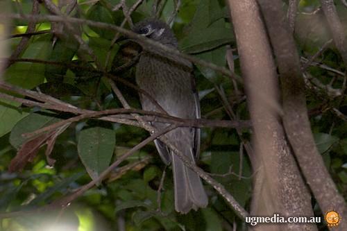 Eungella honeyeater (Lichenostomus hindwoodi)