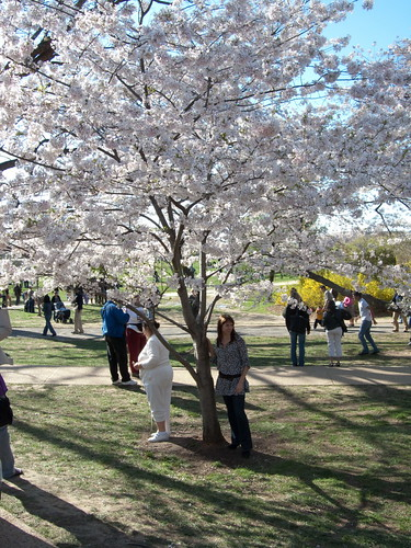 cherry tree blossoms washington dc. Yoshino Cherry Tree Blossoms