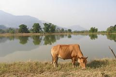 54.安靜吃草的牛與靜如明鏡的湖