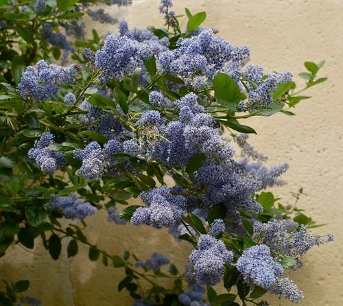 C�anothe-Ceanothus bush by hjfklein.