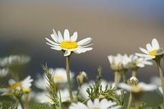 Spring (kezwan) Tags: spring kurdistan  oxeyedaisy kezwan 1on1flower goldstaraward prskrage