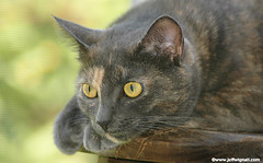 My Cat Daydreaming (Jeff Wignall) Tags: cats pets fur eyes nikon zoom candid ears wignall catportrait petphotos 75300mmnikkor