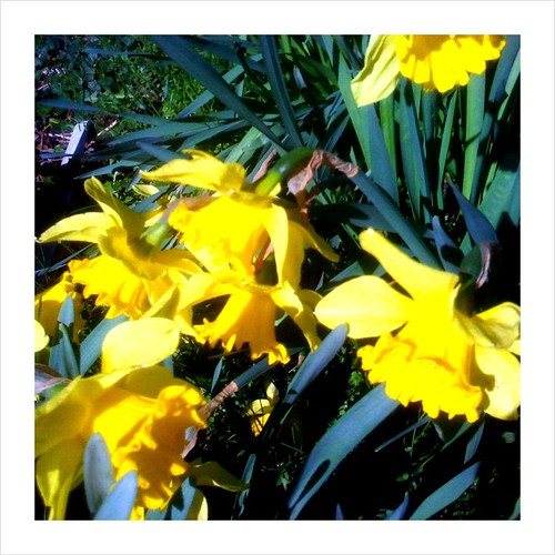 Daffodils - Taken With An iPhone