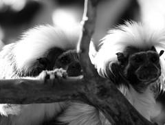 Tamarins (dfg photography) Tags: scotland spring edinburgh monkeys captivity zoos primates edinburghzoo tamarins animalsincaptivity digitalcameraclub saguinusoedipus blackwhitephotos captiveanimals april2009 zoophotography cottontoptamarins rzss