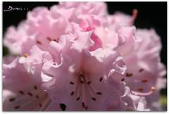 Gmhane'li Dostlarma... (Duru...) Tags: pink flower macro garden sigma botany bahe makro iek 105mm pembe gmhane afak29