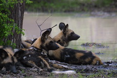 Wild Dogs, Malilangwe