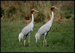 Pair of Sarus Cranes (Grus antigone) spotted in Sultanpur Bird Sanctuary, India (Saran Vaid) Tags: red wild india nature beautiful beauty birds fauna standing canon grey bill wings asia bokeh crane wildlife pair birding flight wing beak feathers feather sigma aves best cranes safari crown elegant soe animalplanet sanctuary quill spotting bornfree birdsanctuary grus sighting birdwatcher vulnerable antigone haryana potofgold quills sultanpur saruscrane grusantigone sarus bej mywinners abigfave canoneos400d sultanpurbirdsanctuary platinumphoto flickraward avianexcellence theunforgettablepictures sultanpurnationalpark rubyphotographer sigma150500mm vosplusbellesphotos thewonderfulworldofbirds sigma150500mmf563dgoshsm