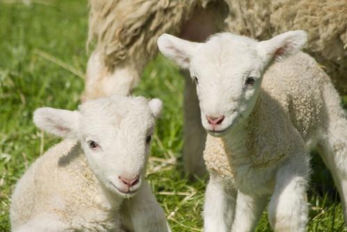 Mudchute Sheep 3