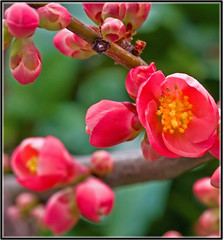 ~ Quince Blooms ~