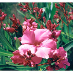 OBX Macro Flower