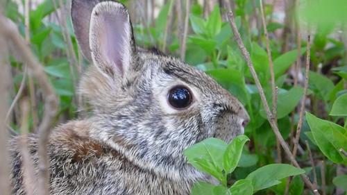 Yard Bunny Close Up
