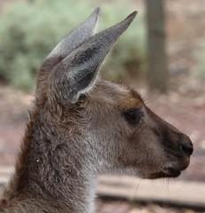 Portait of our daily breakfast guest . Flinders Ranges (Uhlenhorst) Tags: travel animals tiere reisen australia australien 2008