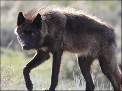 Druid (gainesp2003) Tags: canon wolf wildlife pack yellowstone druid predator 100400mm wolves blackwolf 50dcanon gainesp2003 patgaines