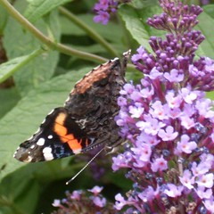Red Admiral Butterfly 2