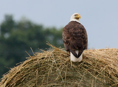 King of birds and hay! (AllHarts) Tags: nature ngc baldeagle wickedawesome itsnotaboutyou peacefulnature addictedtoanimals naturespotofgold~~competitivegroup flickrsmosthumongousgroup naturesbeautifulphotography kingofthehay naturescarousel