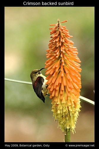 Crimson backed sunbird