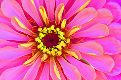 Zinnia Photo Art (Jeff Clow) Tags: macro closeup garden raw conversion digitalart dfw zinnia photoart 1exp sigm105mm nikond300 jeffrclow photoshopelements70 topazsimplify