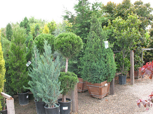 variety of junipers