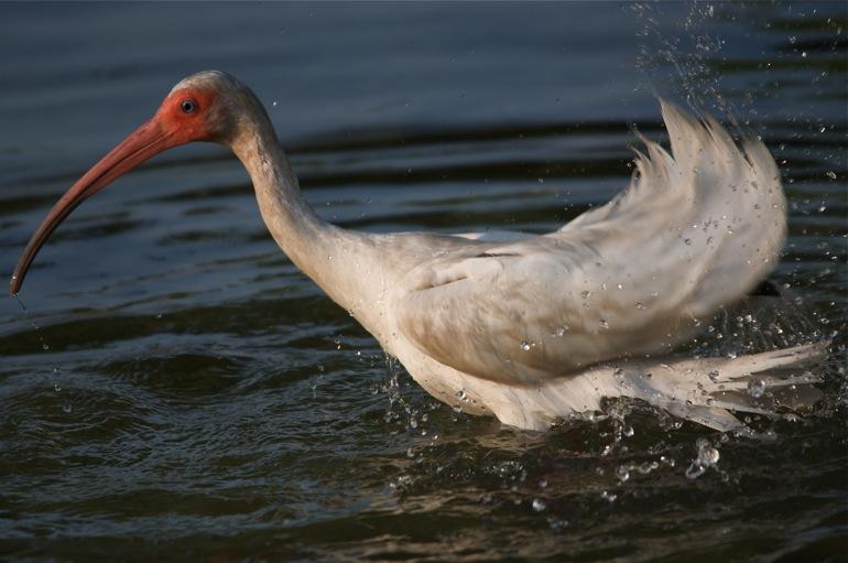 ibis_splash_0035
