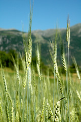 wheat (freelancer74) Tags: green wheat harvest albania korce korca bestofalbania
