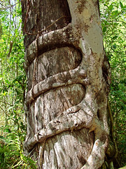 "Strangler Fig Roots Strangles A Cypress Tree, 1 of 2 (IronRodArt - Royce Bair (""Star Shooter"")) Tags: trees plants plant tree nature wrapping florida strangler fig web attack grow wrap parasites strangle textures growth host everglades cypress network unusual invade botany embrace pervasive hold entwine parasite invading attacking grasp strangles embracing encircle strangling encroaching endanger encroach encircling"
