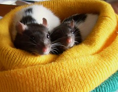 """we didn't do it"" (**tWo pInK pOSsuMs**) Tags: pets rats ratties fancyrats"