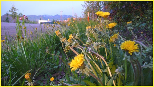 Dandelion country -- scenic, isnt it?