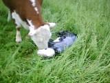 Beulah's new calf