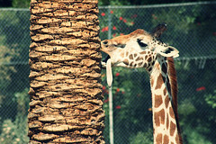 Uh (margyyy) Tags: tree tongue giraffe bitting doingsomethingwerid