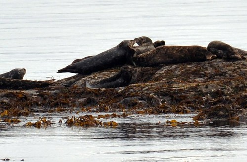 Pacific Harbour Seals