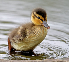 Duckling (mistyblue17) Tags: baby spring duckling mallard martinmere cutecreatures chicks2010 adorablecharacters2010