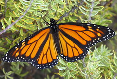 Monarch (Eyersh) Tags: orange macro insect monarchbutterfly canong10