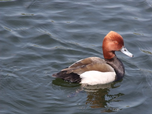 Pensthorpe - Mill Pond - Hybrid Red-crested Pochard / Common Pochard