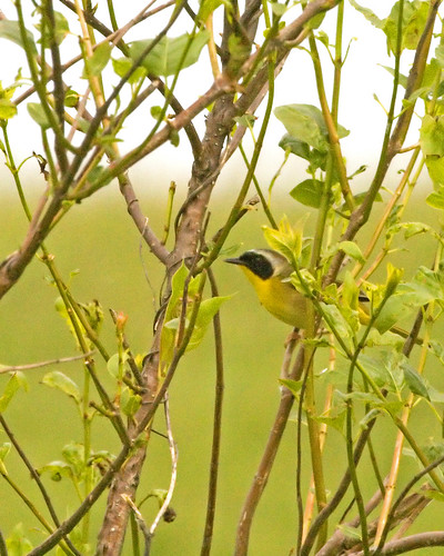CommonYellowthroatEmiquon05142010JGWard_MG_9663