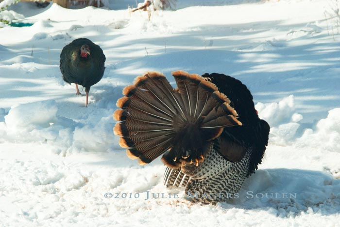 A young hen turkey investigates the large male turkey.