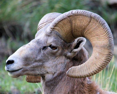 8x10 Big Horn Sheep IMG_8956