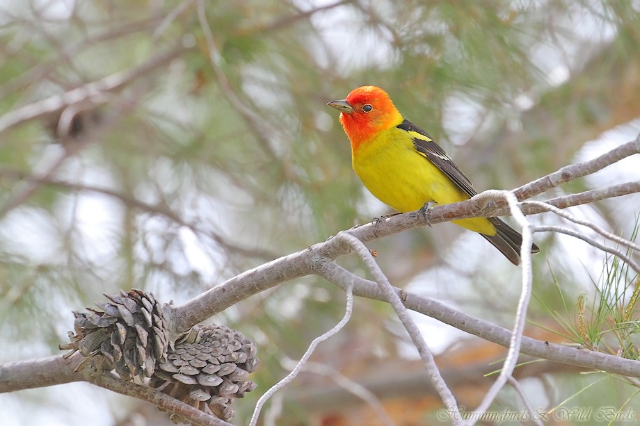 Western Tanager 05211111-3