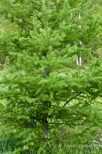 Tamarack Tree-2.jpg