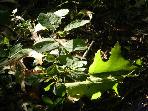 Light on Leaves by Captain_Peleg