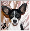 Bofie (chippewabear) Tags: dog chien fdsflickrtoys ears perro bo pup ratterrier rattie bofie