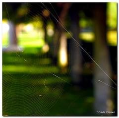 the trap... (Carlo Pisani) Tags: spider carlo trap pisani ragno tela aplusphoto carlopisani wwwcarlopisanieu wwwcarlopisaniit