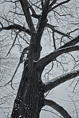 The Old Tree (BS_Photos) Tags: trees winter white snow d50 nikon nikond50 snowroad snowtrees photoshoptechniques 18135mm nikon18135