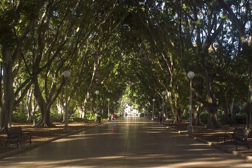 Аллея инжирных деревьев