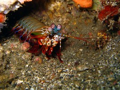 Peacock Mantis Shrimp