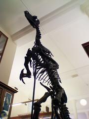 Igaunodon skeleton