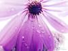Purple daisy (man's pic) Tags: newzealand flower tree water droplets flora auckland nz daisy northisland kiwi ahmed coloful pruple maldivianphotographer manspic munah cityofsail munahahmed aoeteora