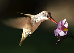 Pardo (risquillo) Tags: flower macro bird nature fly nikon hummingbird d2x birdwatcher risquillo birdwartchers
