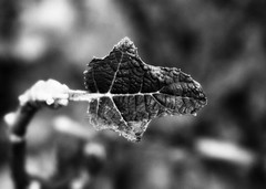 >><< (mightyquinninwky) Tags: blackandwhite bw byn geotagged leaf dof bokeh award indiana depthoffield southernindiana onwhite invite soe picnik invited onblack awarded ohiorivervalley viewonblack shieldofexcellence ohiorivercity evansvilleindiana vandenburghcountyindiana viewonwhite geo:lat=37964137 geo:lon=8767689 bestofformyspacestation