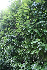 English Laurel